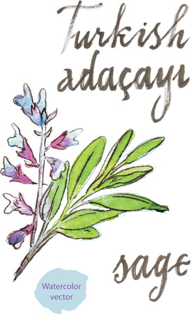 sage: Watercolor hand drawn  sage - vector Illustration. In Turkish sage means Adacayi