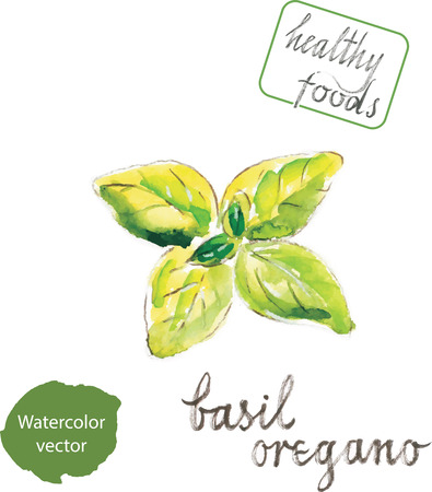 basil: Watercolor hand drawn basil oregano - vector Illustration