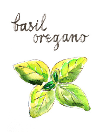 oregano: Watercolor hand drawn basil (oregano) - Illustration