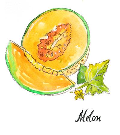 Watercolor hand drawn melon - Illustration 免版税图像 - 45603749
