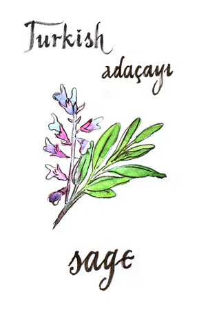 salvia: Watercolor hand drawn sage - Illustration. In Turkish sage means Adacayi