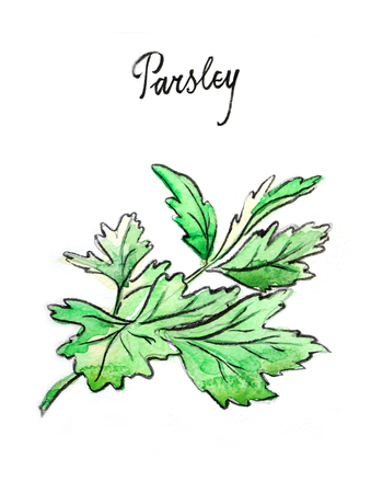 potherb: Watercolor hand drawn twig of parsley - Illustration