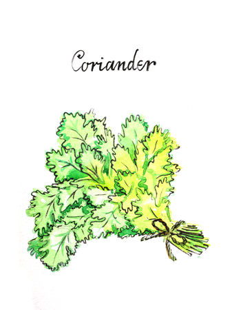 potherb: Watercolor hand drawn green coriander - Illustration