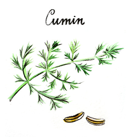 indian spices: Watercolor hand drawn green cumin - Illustration