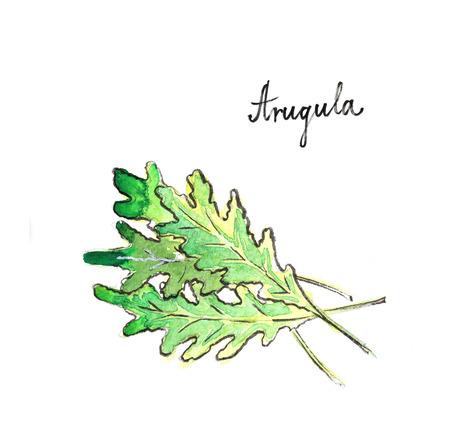 Watercolor hand drawn green arugula - Illustration