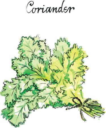 koriander: Akvarell kézzel rajzolt zöld koriander - vektoros illusztráció