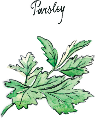 potherb: Watercolor hand drawn twig of parsley - vector Illustration Stock Photo