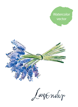 smelling: Bouquet of lavender, hand drawn, watercolor - vector Illustration Illustration
