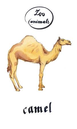 dromedary: Arabian Dromedary Camel, hand drawn - watercolor Illustration