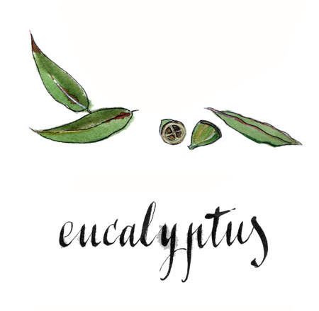 homeopathic: Eucalyptus leaves, hand drawn - watercolor vector Illustration
