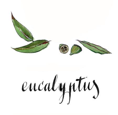 Eucalyptus leaves, hand drawn - watercolor vector Illustration