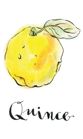 Yellow quince, hand drawn - watercolor vector Illustration Illustration