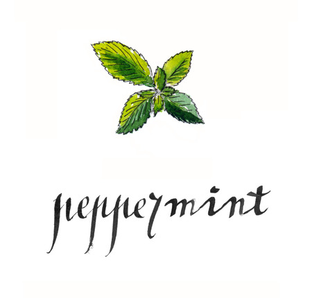 Fresh peppermint leaves, hand drawn - watercolor Illustration
