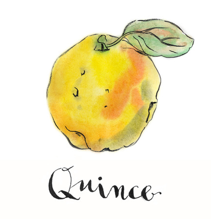 quince: Yellow quince, hand drawn - watercolor Illustration