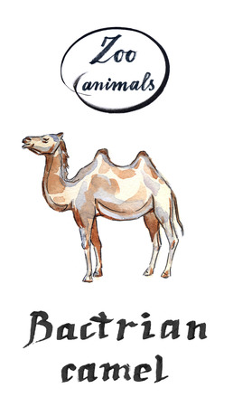 Bactrian camel, hand drawn - watercolor Illustration