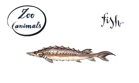 sturgeon: Sturgeon fish, wild life animal, hand drawn - watercolor Illustration