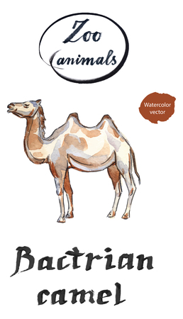 humped: Bactrian camel, hand drawn - watercolor Illustration