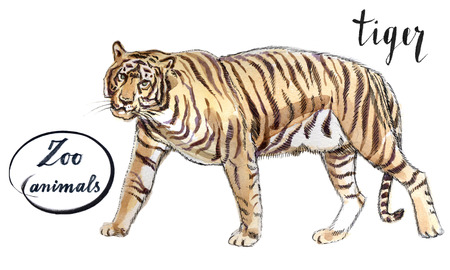 catamountain: Staying striper tiger, hand drawn - watercolor Illustration