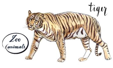 Staying striper tiger, hand drawn - watercolor Illustration