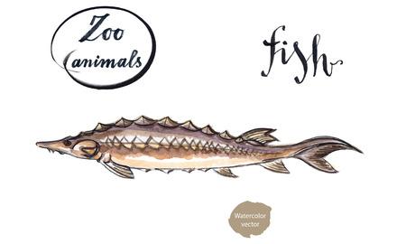sturgeon: Sturgeon fish, wild life animal, hand drawn - watercolor vector Illustration