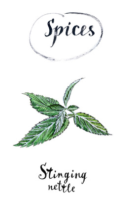Twig of green fresh stinging nettle in watercolor, hand drawn, illustration