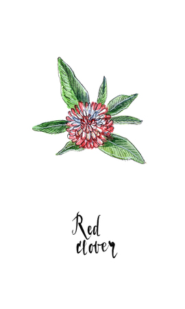 red clover: Single flower of red clover in watercolor, hand drawn, illustration Stock Photo