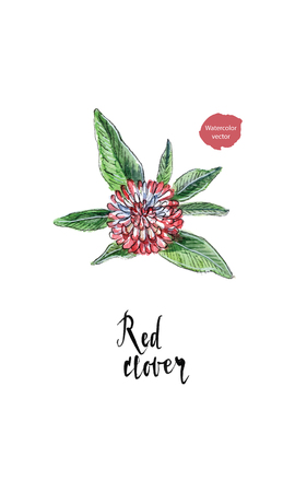 Single flower of red clover in watercolor, hand drawn, vector illustration