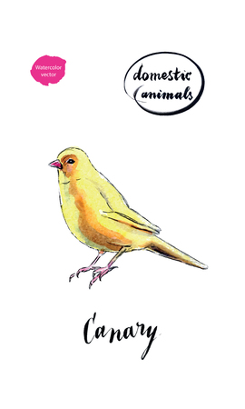 Watercolor yellow canary bird, hand drawn, watercolor vector Illustration
