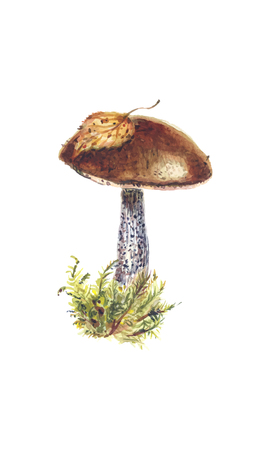 Fresh brown cap boletus in a clump of moss - watercolor botanical vector illustration