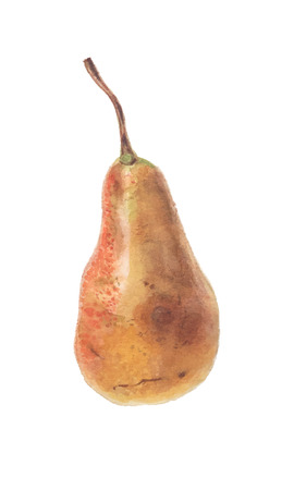 Ripe red yellow pear fruit - watercolor vector botanical illustration