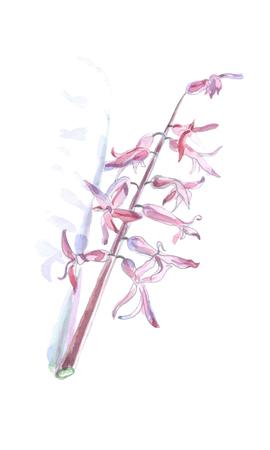 Forsythia Oleaceae flowers spring time - watercolor vector botanical illustration