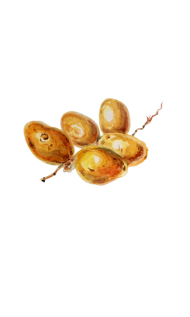 Fresh undried date fruit - watercolor vector botanical illustration