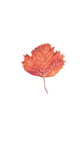 Autumn red maple leaf - watercolor vector botanical illustration