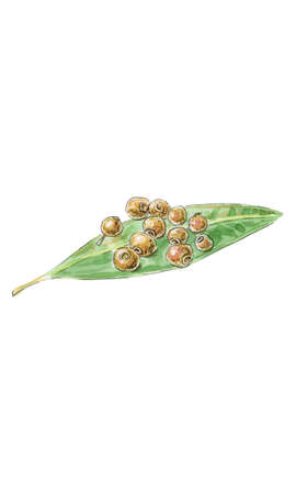 Watercolor illustration, all spice berries, pepper seeds on green leaf, vector illustration