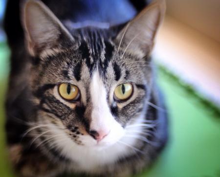 Tabby cat Фото со стока