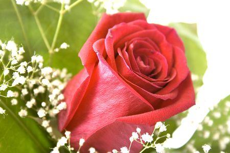 rose Stock Photo - 3788510
