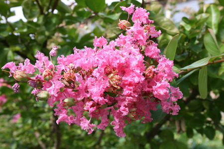 indica: Lagerstroemia indica Stock Photo