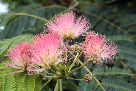 Fabaceae: mimosa blooms Stock Photo