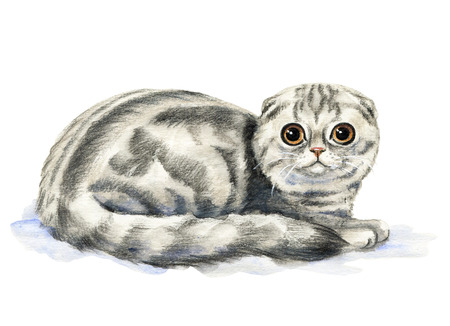 Picture of a Scottish Fold in white background. Watercolor hand painted illustration