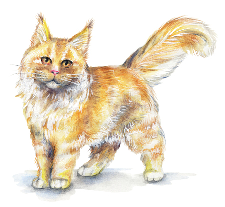 Picture of a Maine Coon cat in white background. Watercolor hand painted illustration