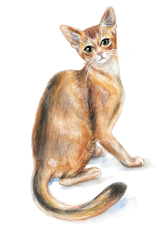 Picture of a Abyssinian cat in white background. Watercolor hand painted illustration