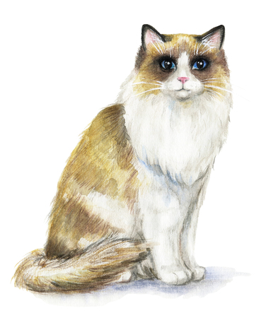 Picture of a Ragdoll cat in white background. Watercolor hand painted illustration