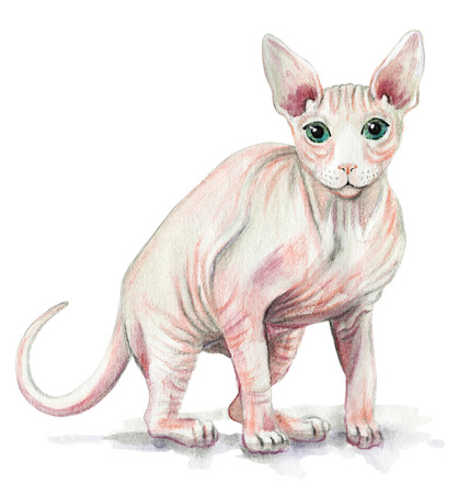 Picture of a Sphynx cat in white background. Watercolor hand painted illustration