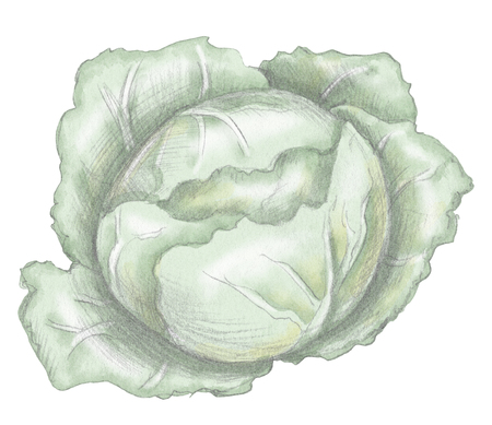 Head of cabbage isolated on white background. Lead pencil graphic and digital illustration