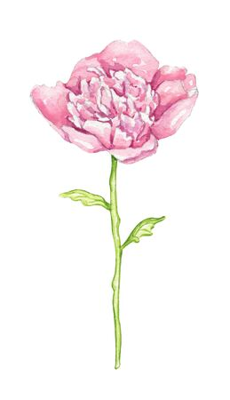 One pink peony flower isolated on white background. Watercolor hand drawn illustration Stockfoto