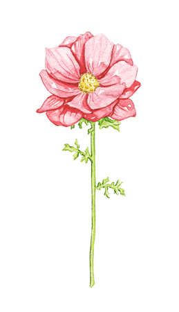 One vintage red flower isolated on white background. Watercolor hand drawn illustration 版權商用圖片 - 152941961