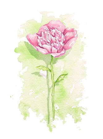 One vintage pink peony flower on green stain background. Watercolor hand drawn illustration
