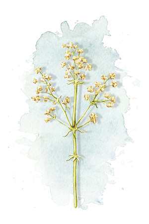 Vintage graceful dry herb herbarium on blue stain isolated on white background. Watercolor hand drawn illustration 版權商用圖片