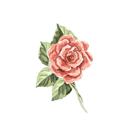 Watercolor vintage red flower one rose isolated on white background. Watercolor hand drawn illustration sketch
