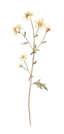 Floral vintage twig with meadow dried beige flowers isolated on white background. Watercolor hand drawn illustration sketch
